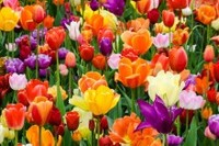 The History of Tulips